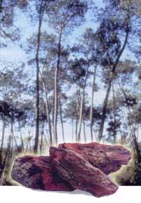 ピクノジェノール と フラバンジェノール の 原料 であるフランス海岸松の樹皮